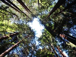 Photo of San Francisco Muir Woods and Sausalito Tour plus Bay Cruise Giant Redwood trees