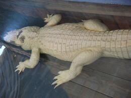 Ivory in color, and not albinos, the large reptile can weigh over 800 pounds! - February 2009