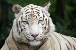 A portrait of a white tiger in the Singapore Zoo - May 2011