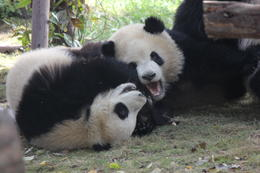Photo of Chengdu Half-Day Chengdu Panda Breeding Center Tour with Optional Baby Panda Holding Wrestling