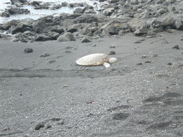 Turtle resting on the beach , garylcarlson - April 2015