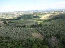 Photo of Florence Taste of Chianti: Tuscan Cheese, Wine and Lunch from Florence Olive trees