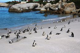 Colony of African Penguins at Boulders Beach -- so cute! , BethanieKay - April 2016