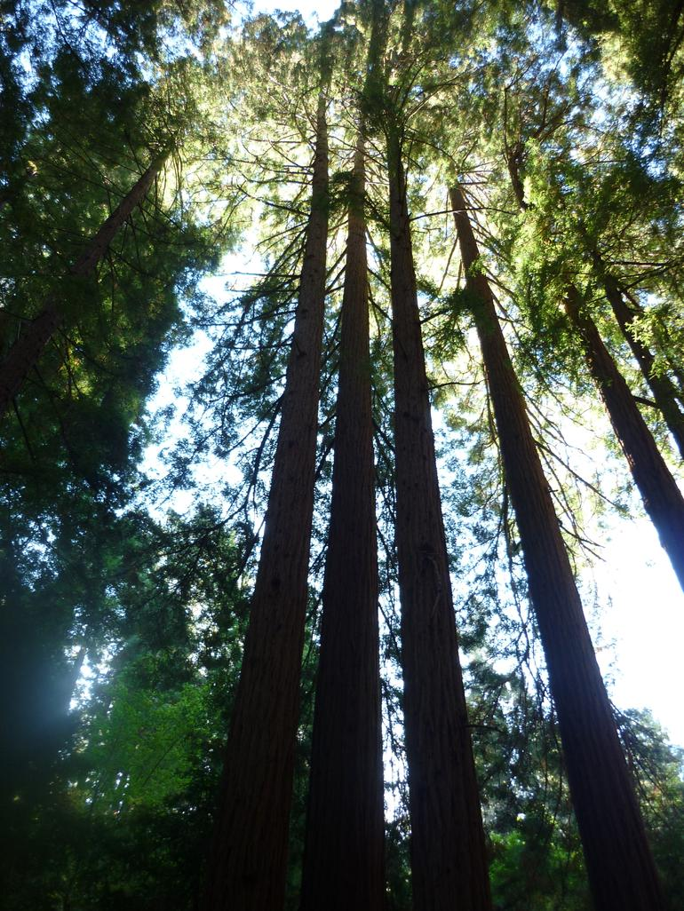 Tall Red Woods - San Francisco