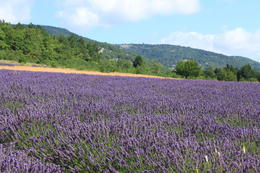 this photo is the lavender in Provence. It is so beautiful. , Yue Y - August 2011