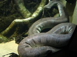 Photo of San Francisco Skip the Line: California Academy of Sciences General Admission Ticket Anaconda snake