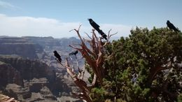 Beautiful ravens congregating in a tree at the edge of the canyon. There were unafraid of humans and sat there posing for the photos. Watch out for your lunch, though, if you eat at the covered..., kathiecan - June 2016