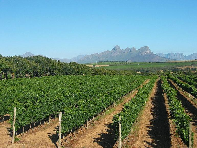 Vineyards on Meerlust Estate, just outside Stellenbosch - Cape Town