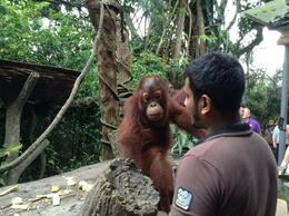 Photo of Singapore Singapore Zoo Morning Tour with optional Jungle Breakfast amongst Orangutans what a cutie