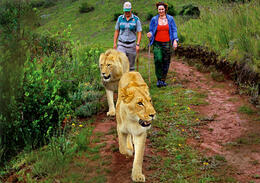 Photo of Cape Town 4-Day Garden Route Tour from Cape Town lionwalk2 (2).jpg