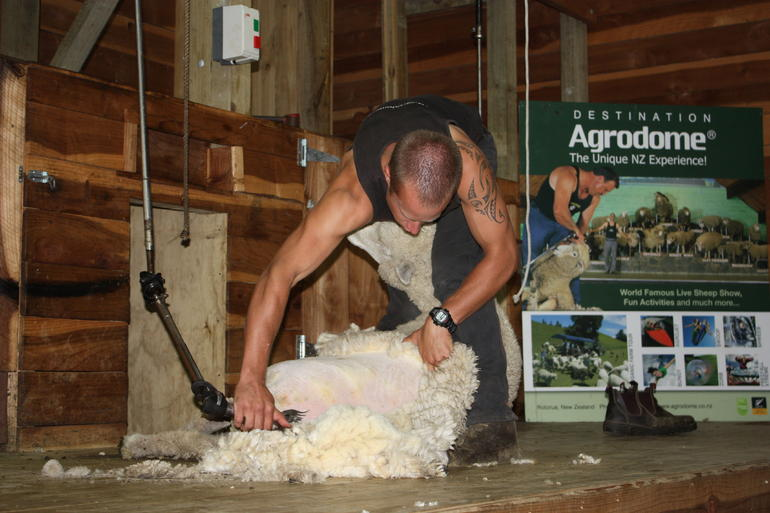 Sheep shearing demonstration at the Agrodome. - Auckland