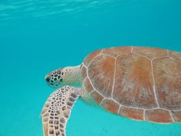 Photo of St John Caneel Bay Kayak, Hike and Snorkel Tour Turtle