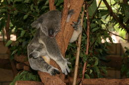 Photo of Brisbane Lone Pine Koala Sanctuary Admission with Brisbane River Cruise Koala