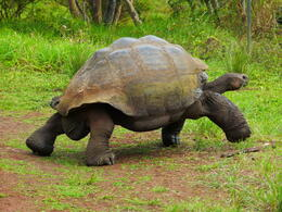 Photo of Galapagos Islands Galapagos Islands Explorer Package from Santa Cruz Island Land Tortoise