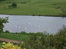 White and black swans on the lake, Robert M - July 2010