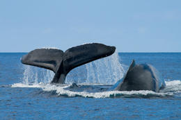 Photo of   Two humpback whales breaching off the coast of Oahu