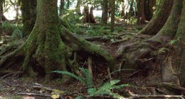 Photo of   Old growth trees, moss, and ferns