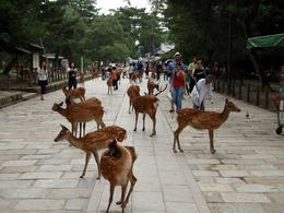 Photo of Osaka Kyoto and Nara Day Tour Including Golden Pavilion and Todai-ji Temple from Osaka Todaiji Temple deers