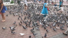 Hundreds of pigeons. , Richard M - October 2014