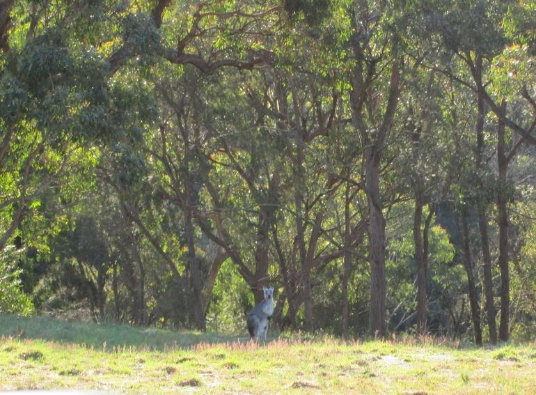Kangaroo in the wild - Sydney