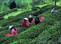 Photo of Chengdu Experience Chengdu: Private Tea-Making Tour of Mengdingshan Tea Plantation Mengdingshan Tea Plantation