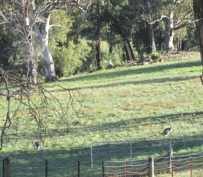 Couple of roos in the bush - Sydney