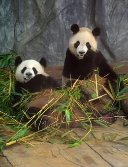 Photo of Hong Kong Guangzhou (Canton) China Day Trip from Hong Kong Pandas at the Zoo