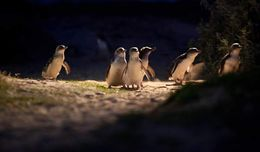 Cute penguins walking near the broadwalk.. , aaritu - November 2015