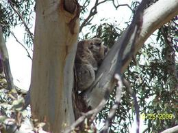 Photo of Melbourne Savannah Walkabout Australian Animals Eco Tour from Melbourne Koala