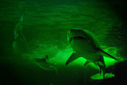 Photo of Sydney SEA LIFE Sydney Aquarium VIP Guided Behind the Scenes Tour Sydney Aquarium sharks