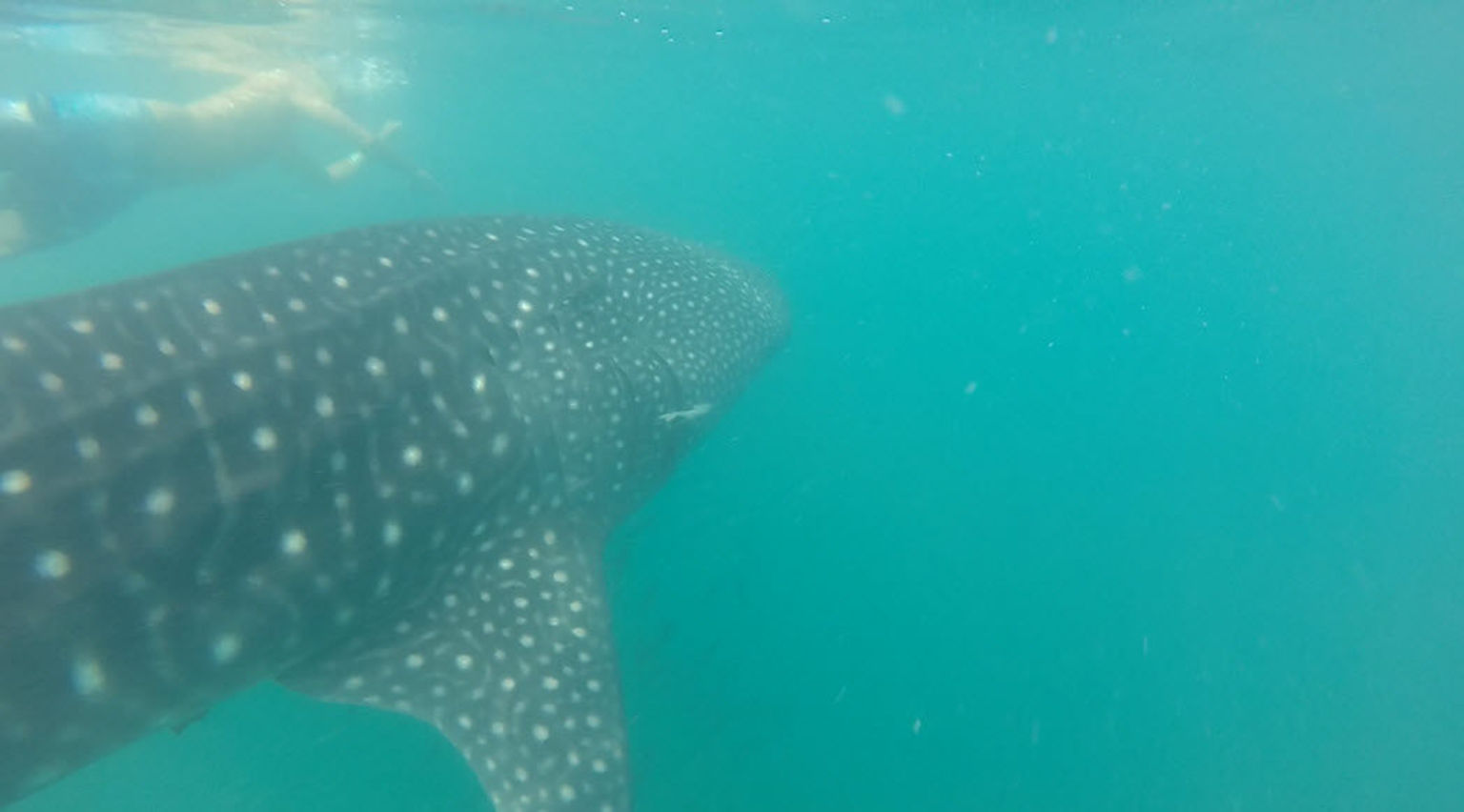 La Paz Whale Shark Snorkeling Tour and Lunch From Los Cabos