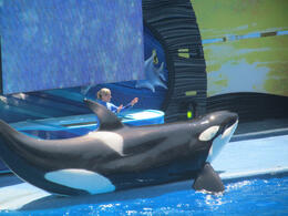 Shamu the killer whale is a very big gentle giant. , Robert B - September 2013