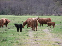 Highland cows near Loch Ness , Lesli H - May 2013