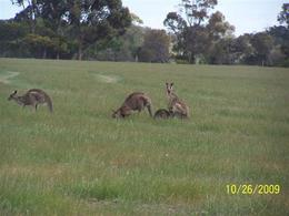 Photo of Melbourne Savannah Walkabout Australian Animals Eco Tour from Melbourne Kangaroos