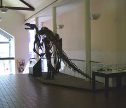 Photo of   'Muttaburrasaurus' skeleton in Tasmanian Museum and Art Gallery, Hobart
