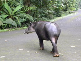 Tapir crossing our path en route to the hanging bridge , Britt B - May 2013