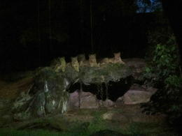 Photo of Singapore Singapore Zoo Night Safari Tour with optional Buffet Dinner Female lions on the lookout