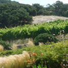 Photo of San Francisco Napa and Sonoma Wine Country Tour Lush green vines!