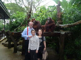 Photo of Singapore Singapore Zoo Morning Tour with optional Jungle Breakfast amongst Orangutans Orangutans at Singapore Zoo