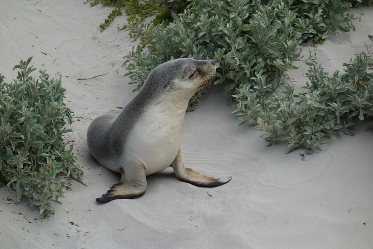 Sea Lion Pup! At Seal Beach - Adelaide