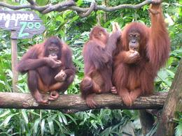 Photo of Singapore Singapore Zoo Morning Tour with optional Jungle Breakfast amongst Orangutans three of the five Orangutans that joined us at Breakfast