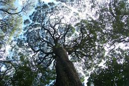 Photo of Tasmania Gordon River Cruise from Strahan Ancient forest canopy