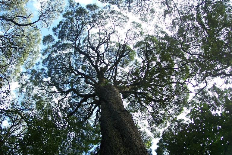 Ancient forest canopy - Tasmania