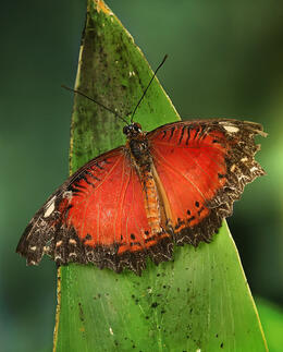 Photo of   Leopard Lacewing butterfly
