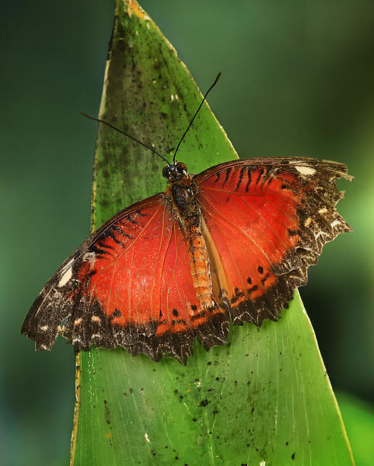 Leopard Lacewing butterfly - Victoria