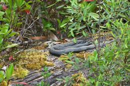 A snake resting on an ancient Huon pine , Maeliosa S - January 2012