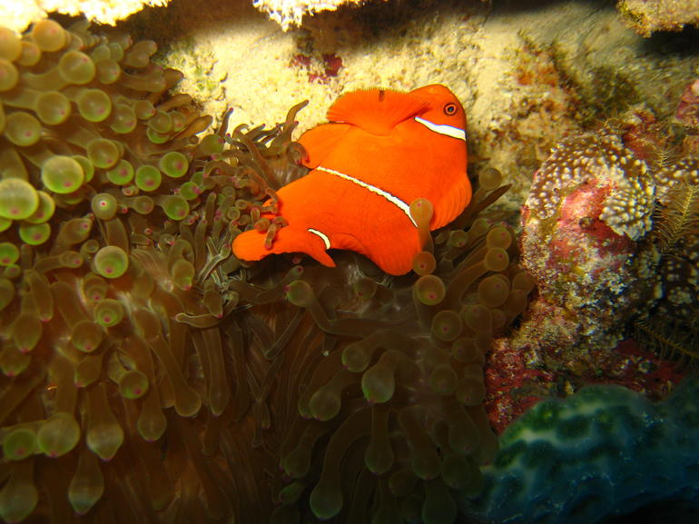 Clown fish - Cairns & the Tropical North