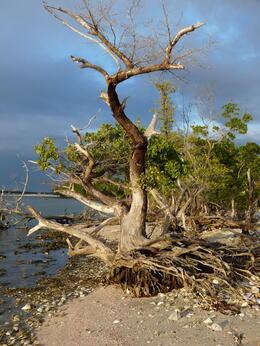 Photo of   Gnarly Everglades Tree