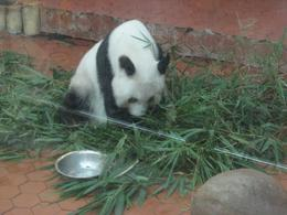 Photo of Hong Kong Guangzhou (Canton) China Day Trip from Hong Kong Panda at the zoo