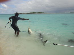 Our guide getting the Caribbean Reef Shark on bait for a photo opportunity. The shark is not harmed , Anthony F - February 2012